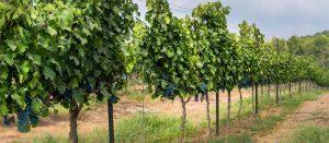 yatir vineyard